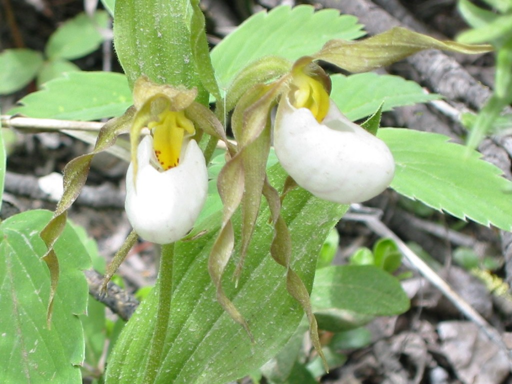 Lady Slippers near Prince George, BC